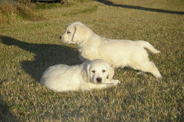 pareja de cachorros golden retriever asturias