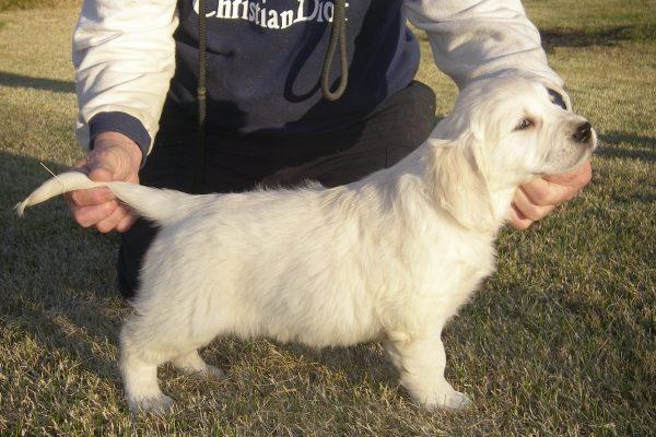 cachorro golden retriever asturias