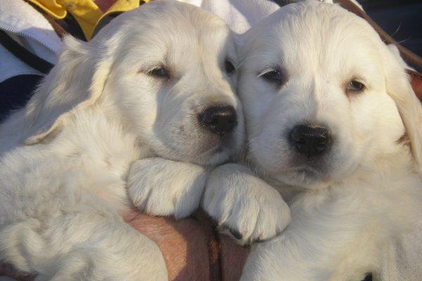 cachorros de golden asturias