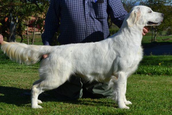 perro golden retriever color blanco